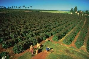 Plantacja kawy ziarnistej - ROBUSTA