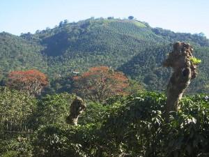 Plantacja kawy Ziarnitej - ARABICA