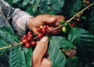 Kawa Ziarnista Gatunki i odmiany